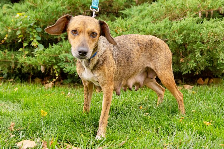 Laney, an adopted Hound & Beagle Mix in Omaha, NE