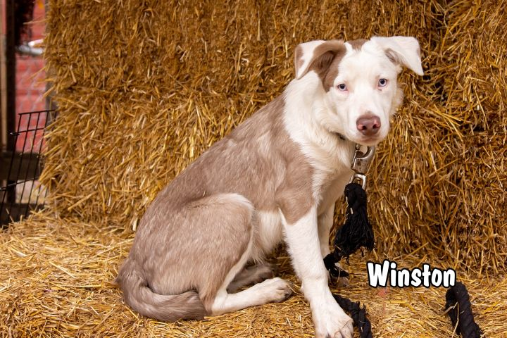 Winston, an adopted Border Collie & Australian Shepherd Mix in Omaha, NE