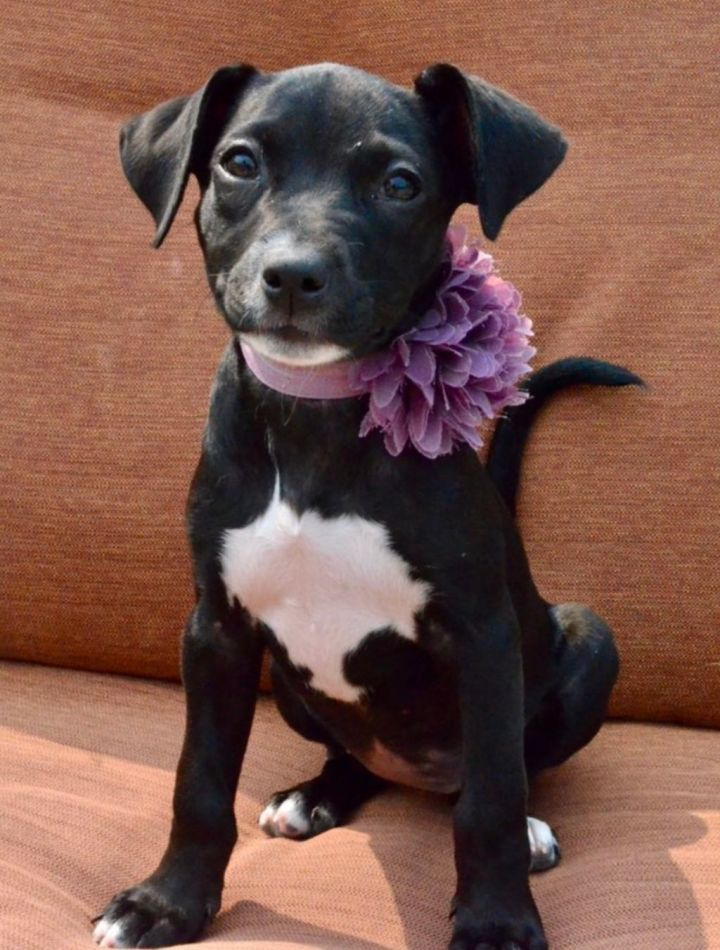 Serena, an adopted Black Labrador Retriever & Pointer Mix in Omaha, NE