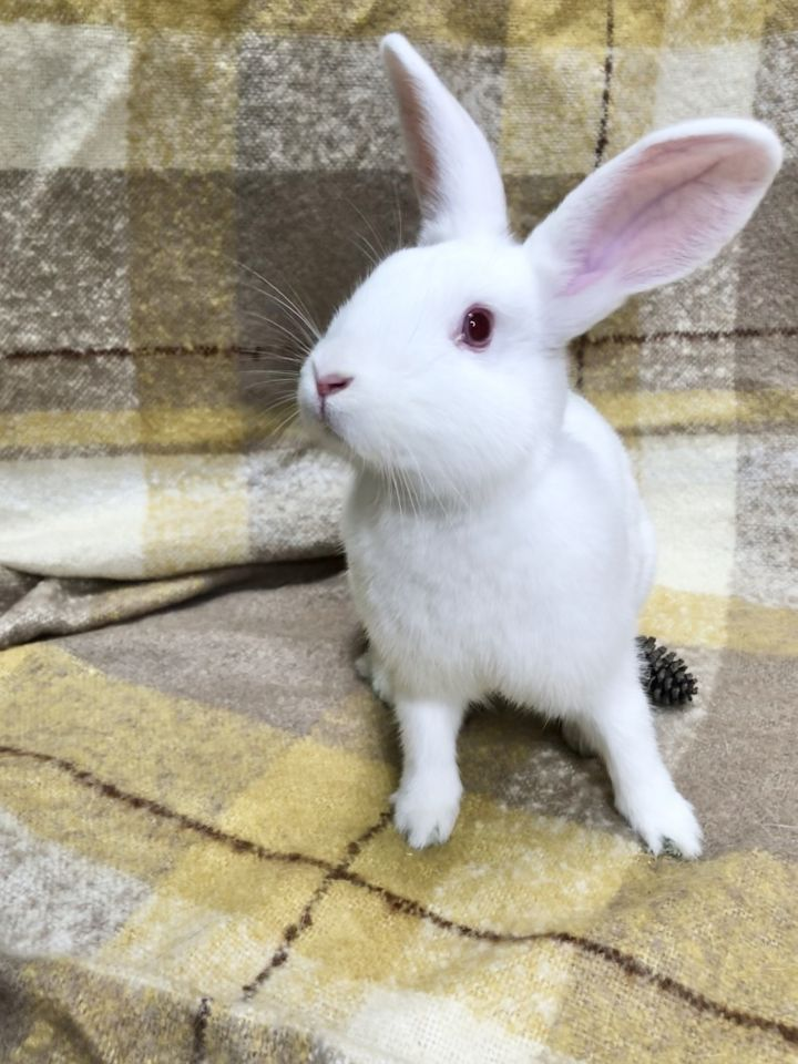 Piglet, an adoptable Florida White in Livermore, CA