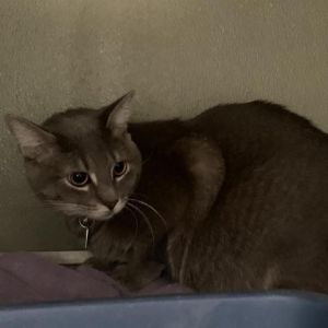 Nikko Domestic Short Hair Cat