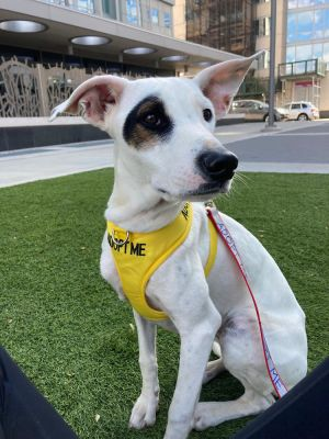 ZAZA 1 year old 31lbs Whippet Mix Spayed Female Higher Active NEEDS A SUBU