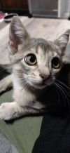 Ophelia (Group kittens)
