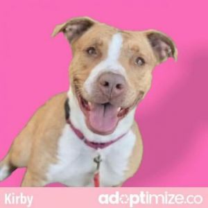 Kirby Pit Bull Terrier Dog