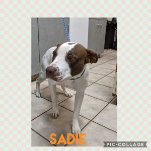 Sadie is a sweet girl She is leash and crate trained All our animals are fully vetted including mi