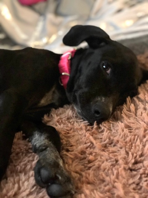Ana, an adopted Labrador Retriever & American Staffordshire Terrier Mix in Long Beach, NY