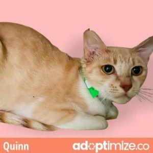 Quinn Domestic Short Hair Cat