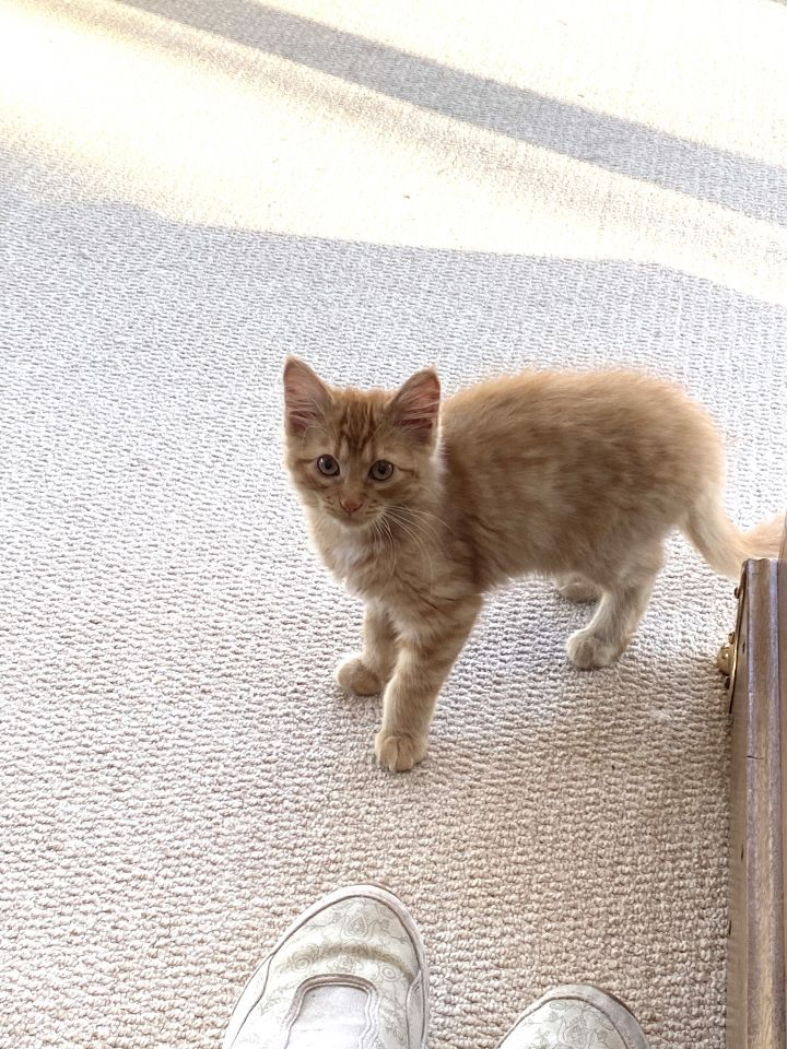 Mulligan - Pending Adoption, an adopted Domestic Medium Hair & Tabby Mix in Minneapolis, MN