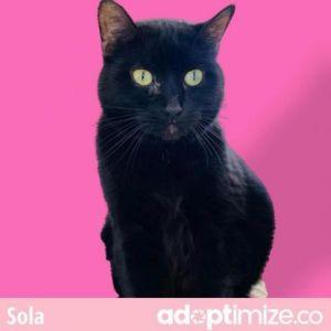 Sola Domestic Short Hair Cat