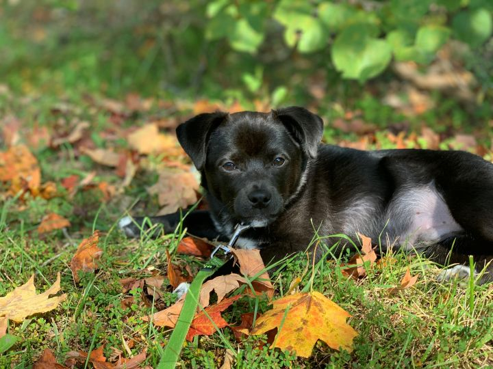 Jet, an adopted Chihuahua & Pug Mix in Louisville, KY