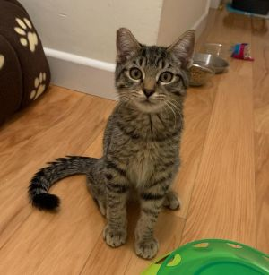 Portland (bonded with Halsey) Domestic Short Hair Cat