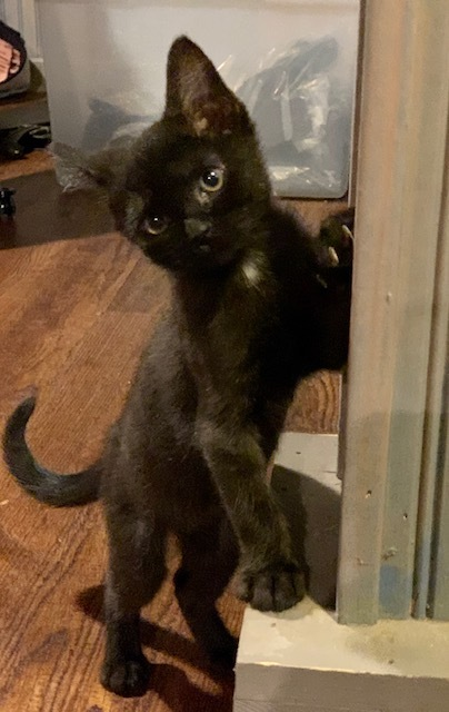 Sammy, an adopted Domestic Short Hair Mix in Hainesville, IL