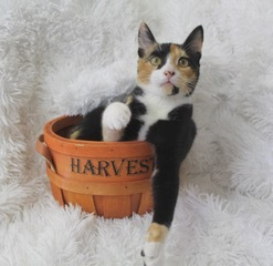 Sensational Skittles, an adoptable Calico & American Shorthair Mix in Saint Augustine, FL
