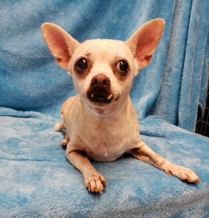 Meet BB a 65 year old 13 pound wonderful chihuahua mix This endearing pup i