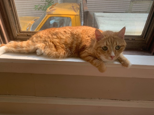 Marcus - Pending Adoption, an adopted Domestic Short Hair & Tabby Mix in Minneapolis, MN