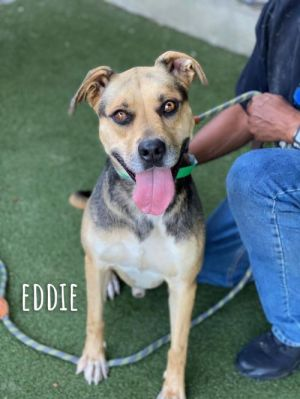 EDDIE 6yo male 65lbs Affectionate connected happy Eddie is sweet energetic and obedient He is lo