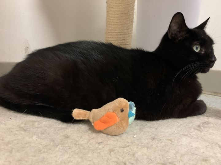 Mr. Godivo, an adoptable Domestic Short Hair in New Rochelle, NY