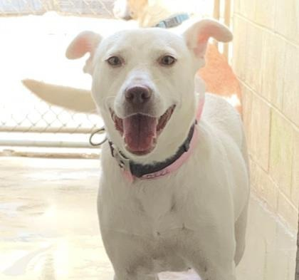 Kalli SC WSD and WLab, an adoptable Labrador Retriever & White German Shepherd Mix in New York, NY