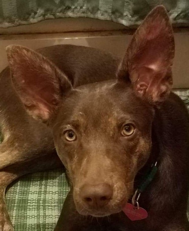 Harley, an adopted Shepherd & Miniature Pinscher Mix in Rochester, NY