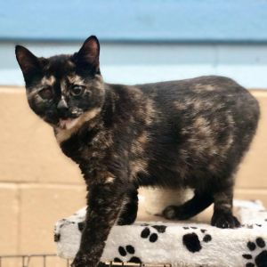 Clarissa is a beautiful black Tortie and she is highly affectionate Clarissa came into our care wit