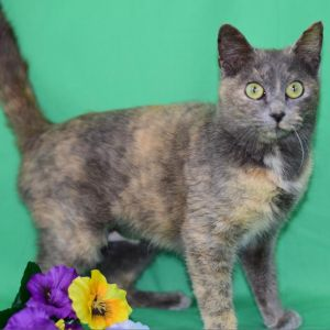 Phoenix is a beautiful gray tortie she is 1 112 years old and a very sweet girl Phoenix has been