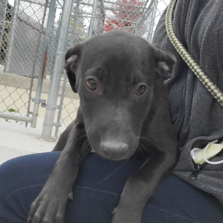 Phedora, an adoptable Labrador Retriever & Terrier Mix in Naperville, IL