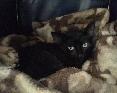 Honi, an adoptable Domestic Short Hair in Kentwood, MI
