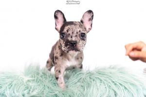 Calliope the Frenchie Puppy French Bulldog Dog