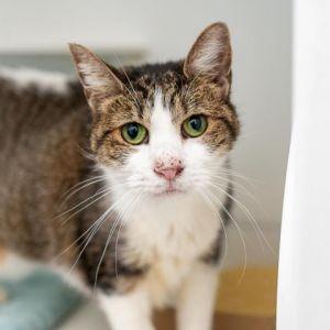 Selma Domestic Short Hair Cat