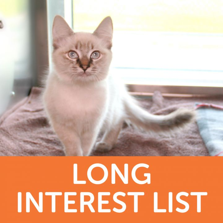 Asteria, an adopted Domestic Long Hair Mix in Clovis, CA_image-1
