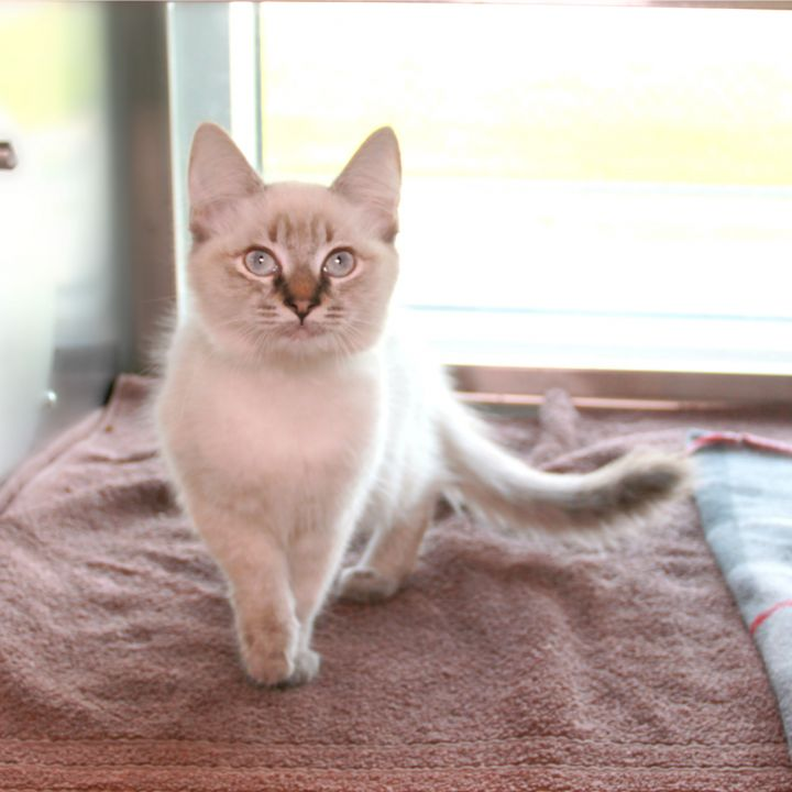Asteria, an adopted Domestic Long Hair Mix in Clovis, CA_image-2
