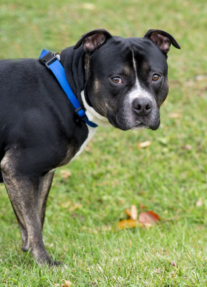 Pumbaa, an adoptable Pit Bull Terrier Mix in Westfield, NY