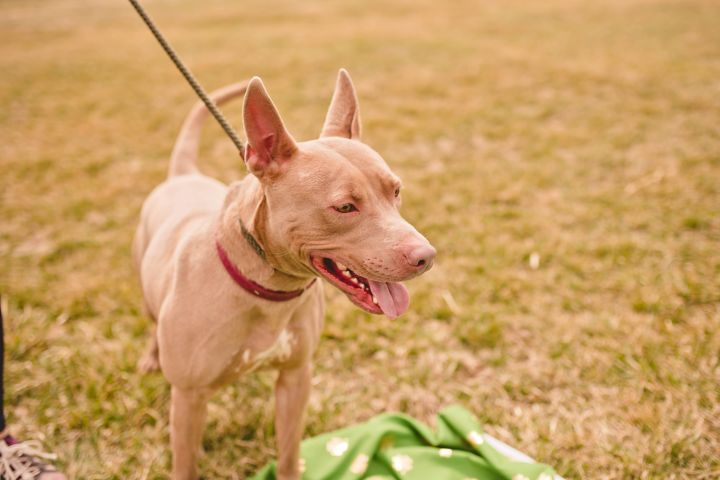 Lenny, an adoptable American Staffordshire Terrier Mix in Fountaintown, IN