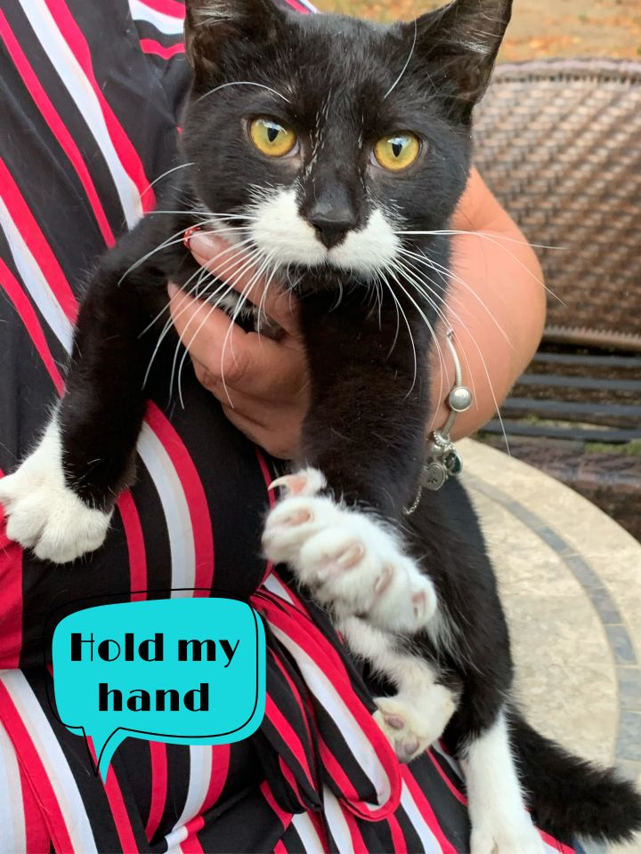 Felix, an adoptable Domestic Short Hair & Tuxedo Mix in White Lake, MI