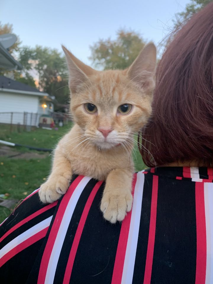 Eugene, an adopted Domestic Short Hair & Tiger Mix in White Lake, MI
