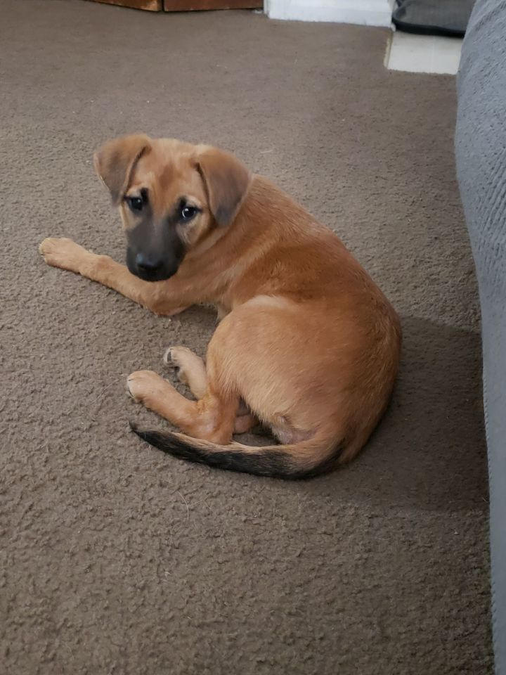 Ginger, an adoptable Labrador Retriever & Shepherd Mix in Overland Park, KS
