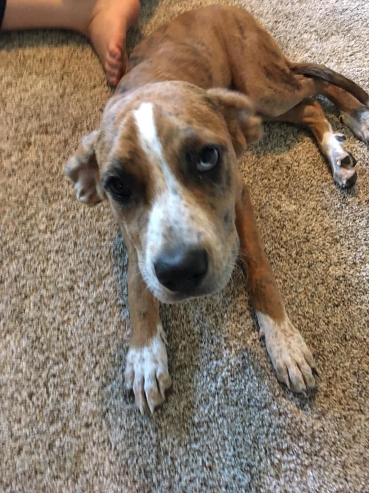Eliza June, an adoptable Catahoula Leopard Dog Mix in Manhattan, KS