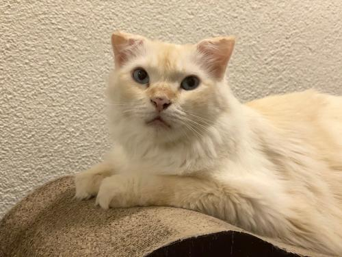 Firebird, an adoptable Oriental Long Hair Mix in Santa Fe, NM