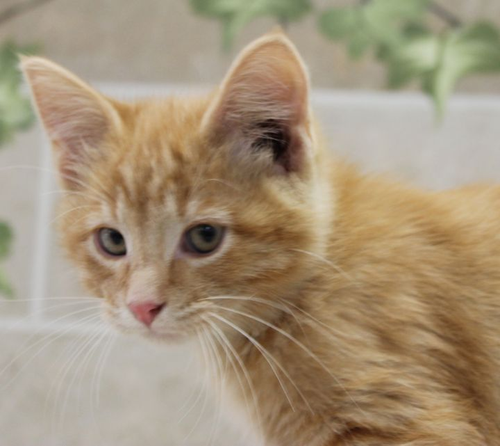 Stanford, an adoptable Domestic Short Hair in Neillsville, WI