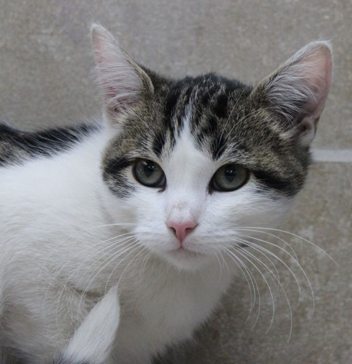Merlin, an adoptable Domestic Short Hair in Neillsville, WI