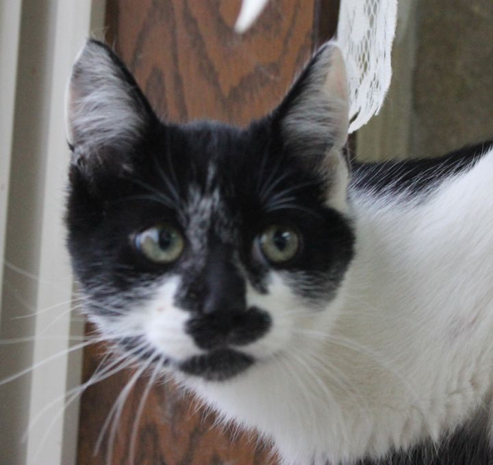 Morgan, an adopted Domestic Short Hair in Neillsville, WI