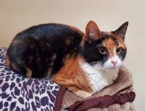 Cindy Clawford Domestic Short Hair Cat