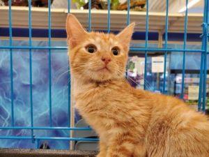 Clorox Domestic Short Hair Cat