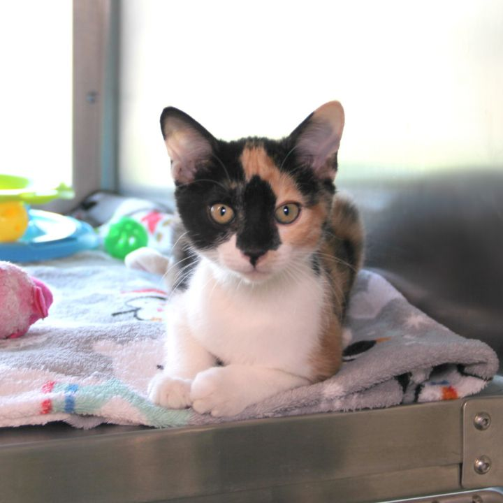 Berlin, an adopted Domestic Short Hair Mix in Clovis, CA