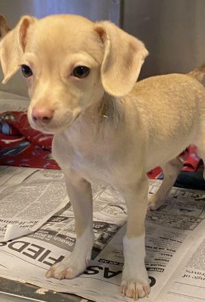 Ballot Chihuahua Dog