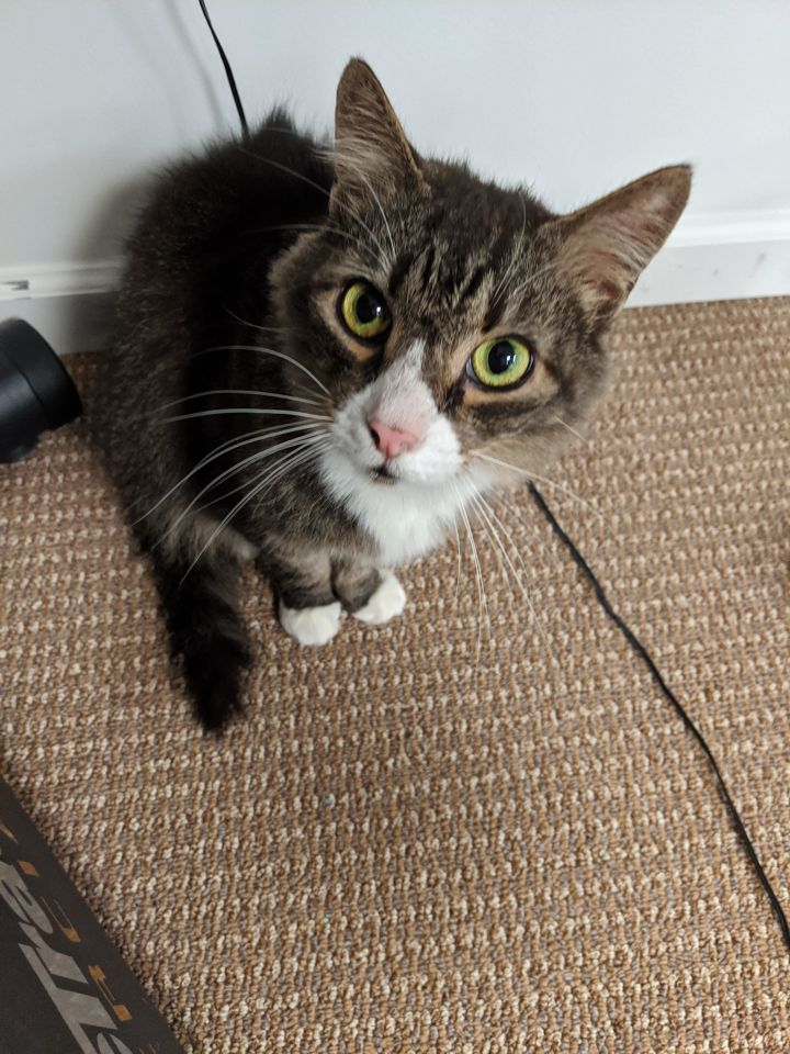Skittles, an adoptable Domestic Medium Hair in Warminster, PA