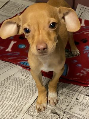 Justice Chihuahua Dog