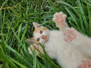 This cute little kitten is approximately 7 weeks old She was found with her mother and brother in a