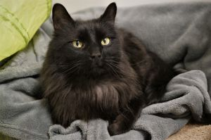 Cole is a seven year old neutered male cat with gorgeous long black fur He is shy with people he
