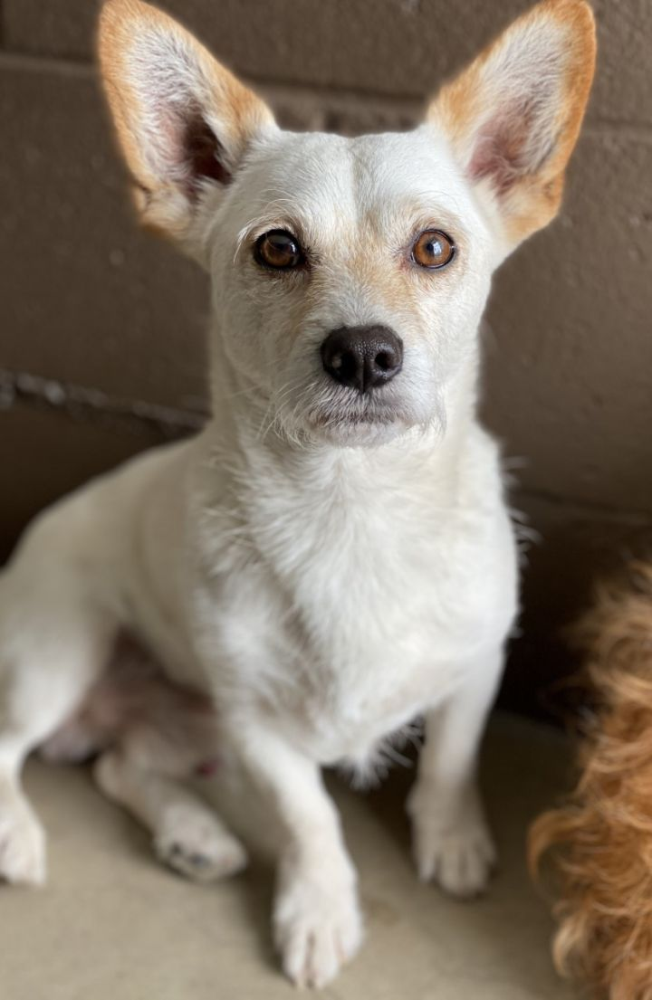 Zero, an adopted Terrier & Dachshund Mix in Los Alamitos, CA